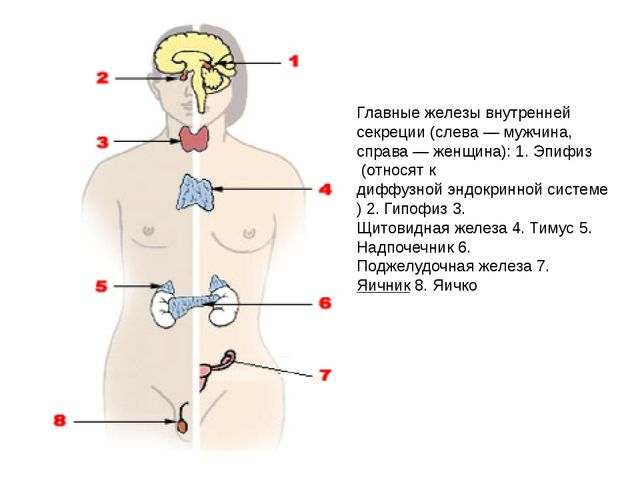 Главные железы внутренней секреции (слева —мужчина, справа —женщина): 1.Эп...