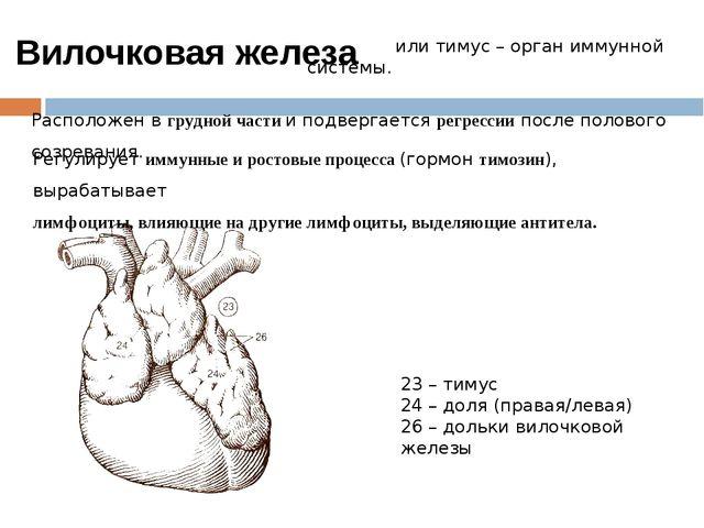 или тимус – орган иммунной системы. Расположен в грудной части и подвергаетс...