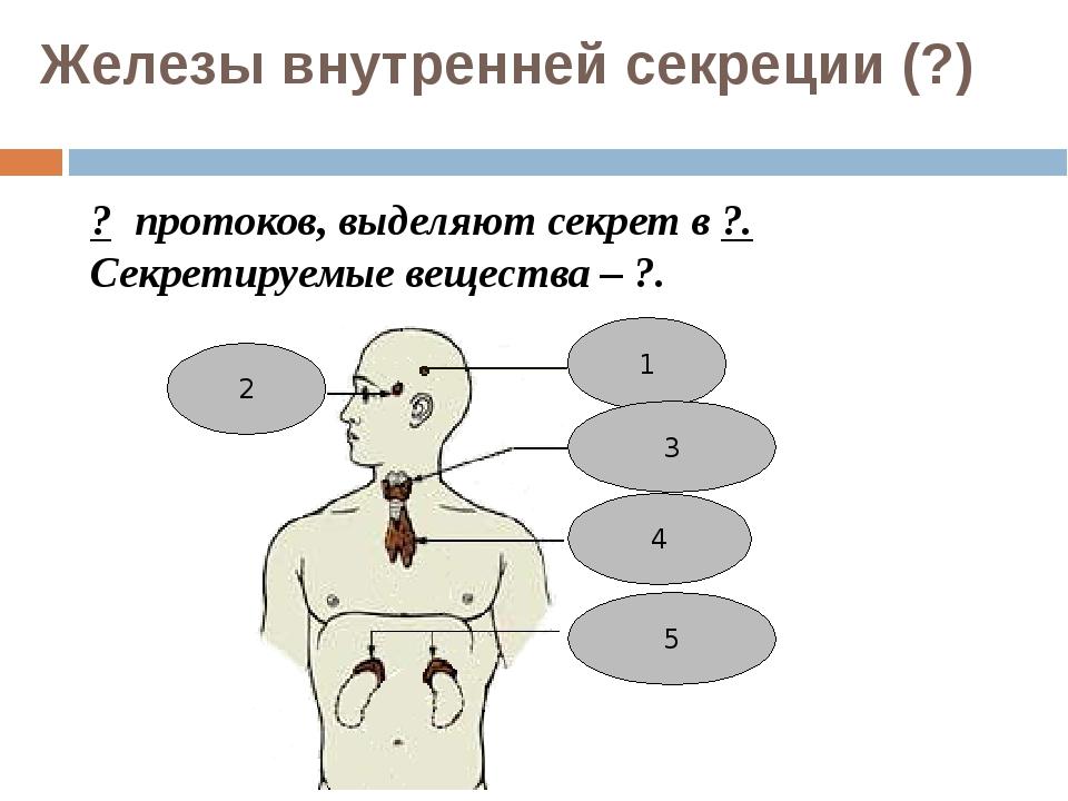 Железы внутренней секреции (?) ? протоков, выделяют секрет в ?. Секретируемые...