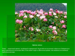 Цветок лотоса Лотос - уникальный цветок, загадочный и прекрасный. Он растёт