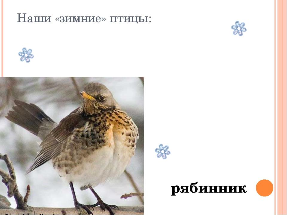 Наши «зимние» птицы: рябинник