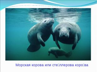 Морская корова или сте́ллерова коро́ва