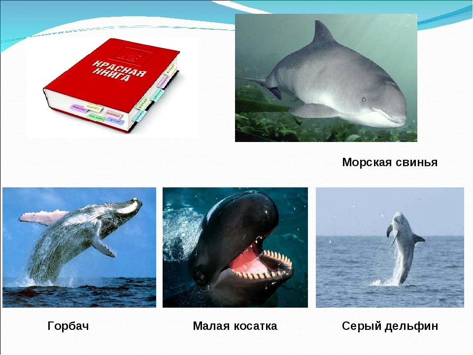 Морская свинья Горбач Малая косатка Серый дельфин