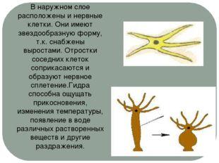 В наружном слое расположены и нервные клетки. Они имеют звездообразную форму,