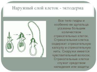 Наружный слой клеток - эктодерма Все тело гидры и особенно ее щупальца усажен