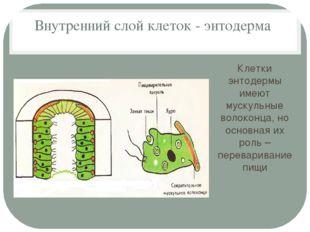Внутренний слой клеток - энтодерма Клетки энтодермы имеют мускульные волоконц