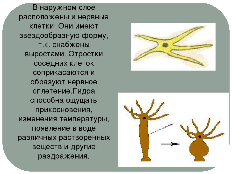 В наружном слое расположены и нервные клетки. Они имеют звездообразную форму,...