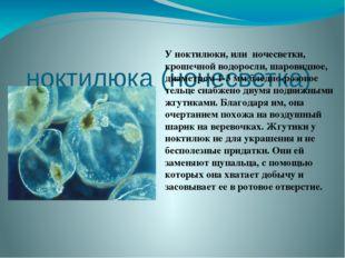 ноктилюка (ночесветка)  Уноктилюки, или ночесветки, крошечной водоросли, ш