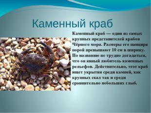Каменный краб  Каменный краб — один из самых крупных представителей крабов Ч