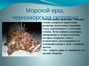 Морской ерш, черноморская скорпена Это настоящее чудовище - большая голова, п