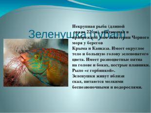 Зеленушка (губан)  Некрупная рыба (длиной около 22 см), обитающая в прибреж