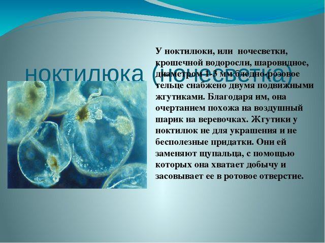 ноктилюка (ночесветка)  Уноктилюки, или ночесветки, крошечной водоросли, ш...