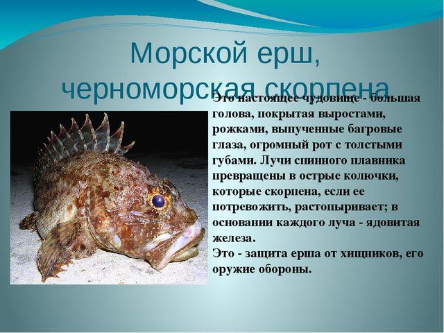 Морской ерш, черноморская скорпена Это настоящее чудовище - большая голова, п...