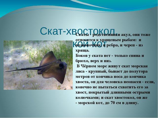 Скат-хвостокол, морской кот Скаты- родственники акул, они тоже относятся к...