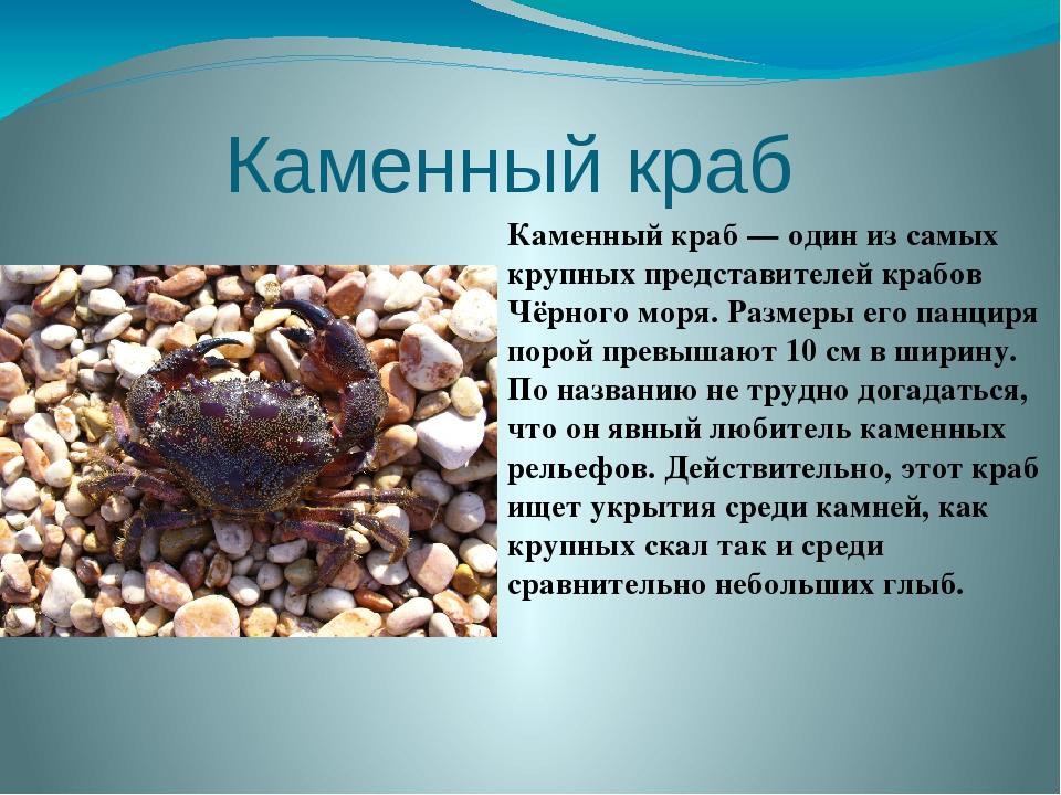 Каменный краб  Каменный краб — один из самых крупных представителей крабов Ч...