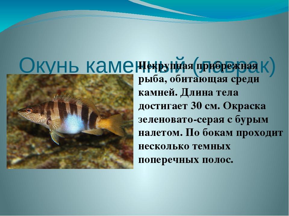 Окунь каменный (лаврак)  Некрупная прибрежная рыба, обитающая среди камней....