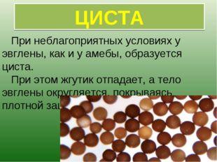 При неблагоприятных условиях у эвглены, как и у амебы, образуется циста. При