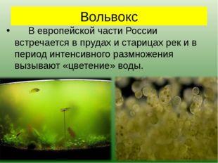 Вольвокс В европейской части России встречается в прудах и старицах рек и в
