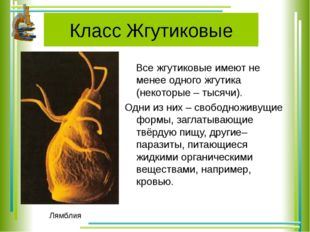Класс Жгутиковые Все жгутиковые имеют не менее одного жгутика (некоторые – ты