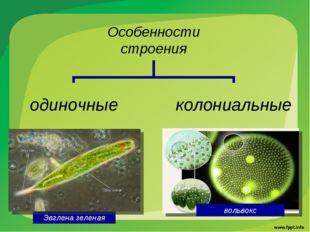вольвокс Эвглена зеленая