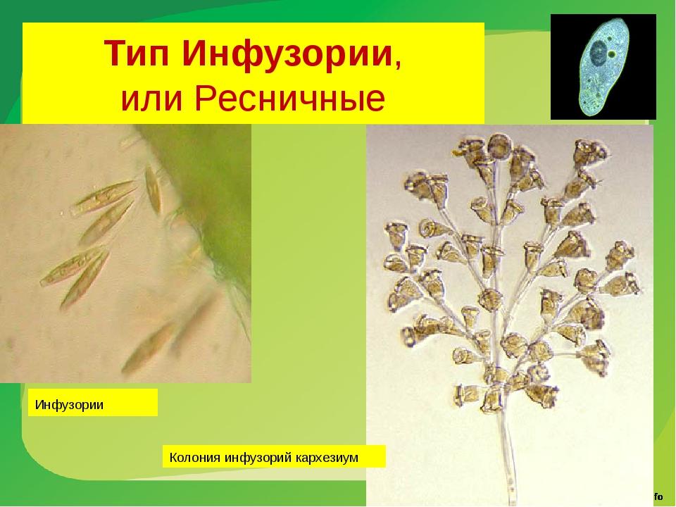 Тип Инфузории, или Ресничные Колония инфузорий кархезиум Инфузории