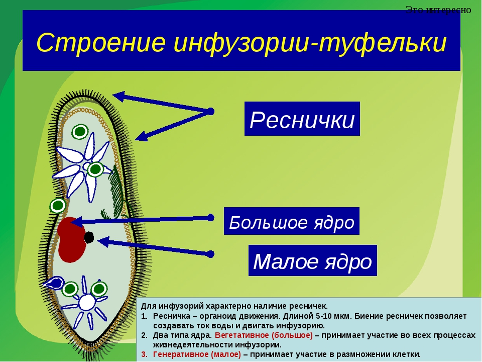 Строение инфузории-туфельки Это интересно Реснички Большое ядро Малое ядро Дл...