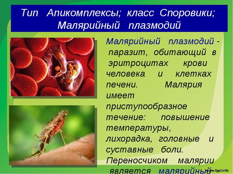 Тип Апикомплексы; класс Споровики; Малярийный плазмодий Малярийный плазмодий...