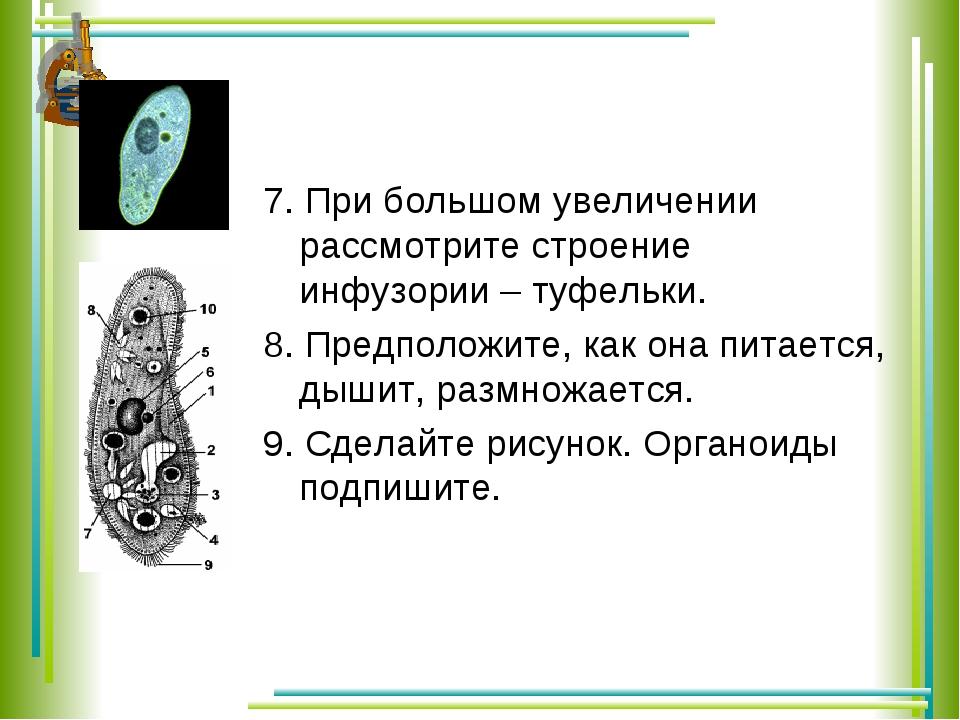 7. При большом увеличении рассмотрите строение инфузории – туфельки. 8. Предп...
