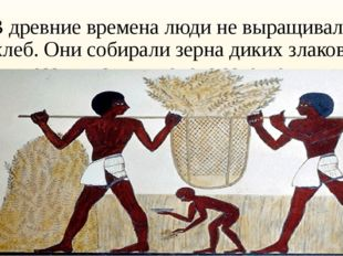 В древние времена люди не выращивали хлеб. Они собирали зерна диких злаков, р