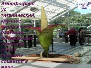 Аморфофаллус титанический, крупное тропическое растение, обладающее одним из