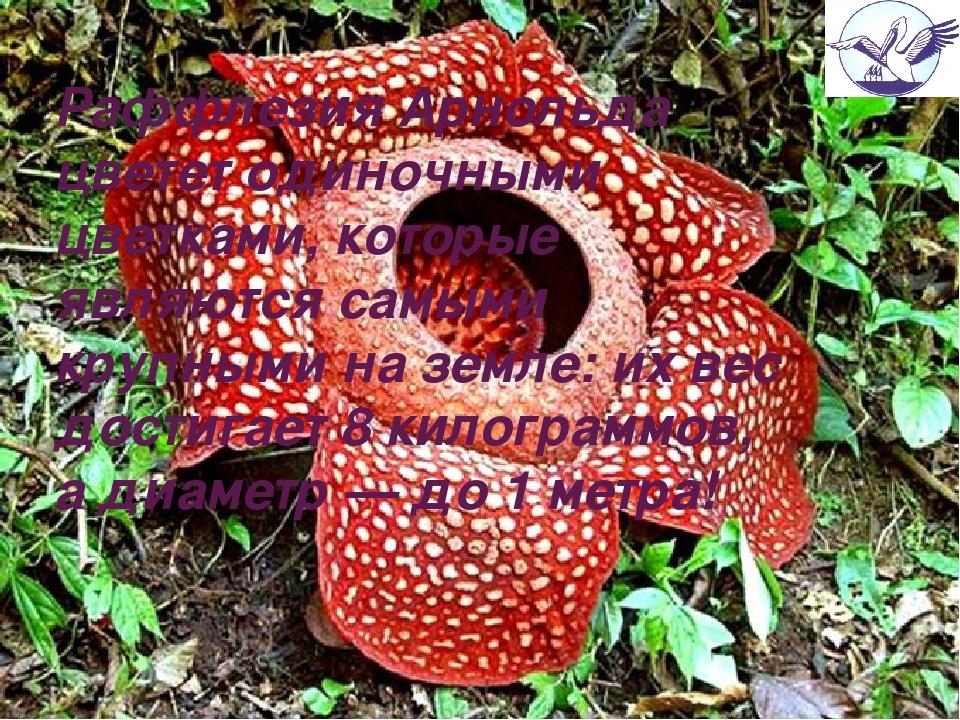 Раффлезия Арнольда цветет одиночными цветками, которые являются самыми крупны...
