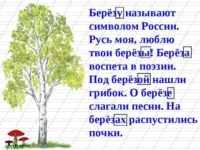 Берёзу называют символом России. Русь моя, люблю твои берёзы! Берёза воспета...