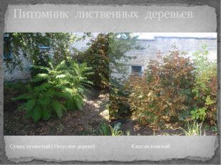 Питомник лиственных деревьев Сумах пушистый (Уксусное дерево) Каштан конский