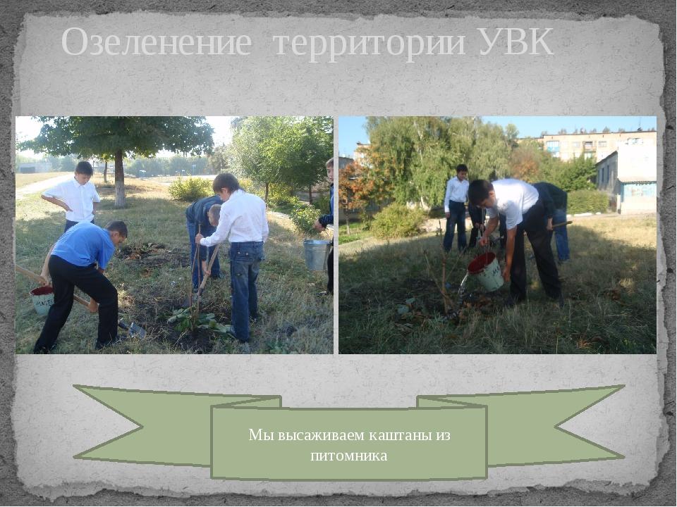 Озеленение территории УВК Мы высаживаем каштаны из питомника