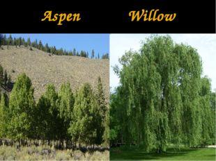 Aspen Willow