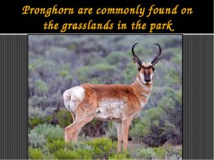 Pronghorn are commonly found on the grasslands in the park