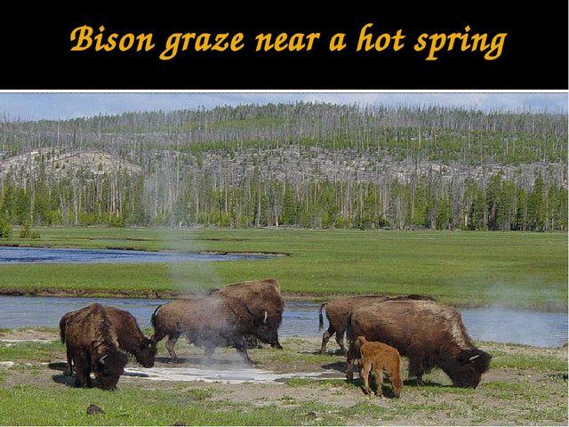 Bison graze near a hot spring