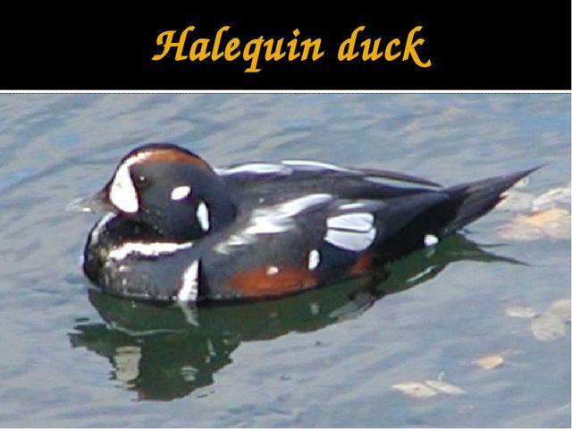 Halequin duck