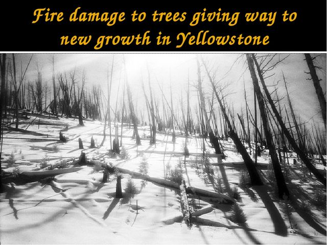 Fire damage to trees giving way to new growth in Yellowstone