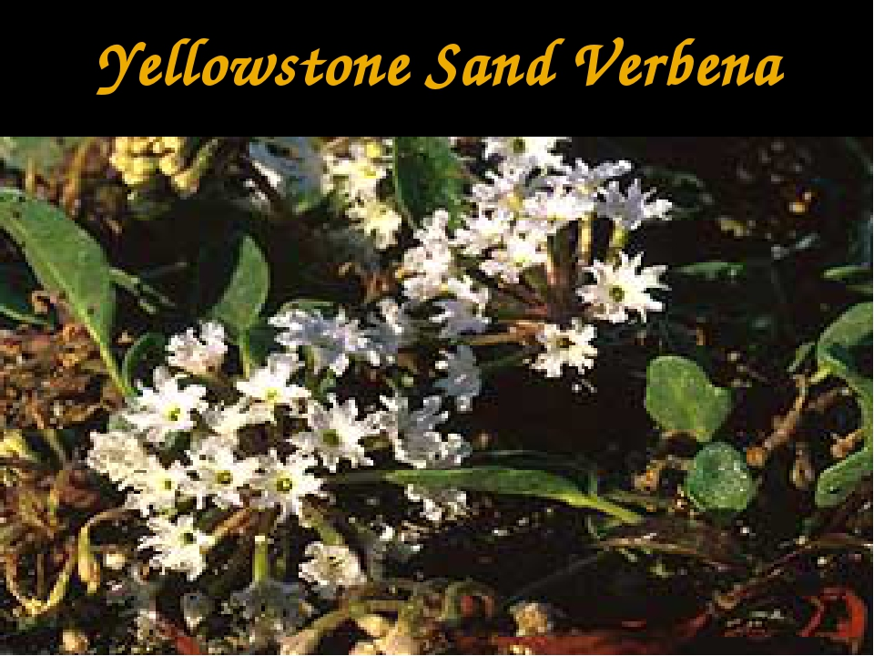 Yellowstone Sand Verbena