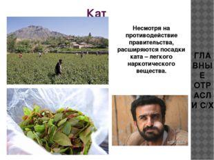 Кат Несмотря на противодействие правительства, расширяются посадки ката – лег