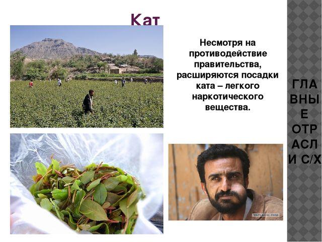 Кат Несмотря на противодействие правительства, расширяются посадки ката – лег...