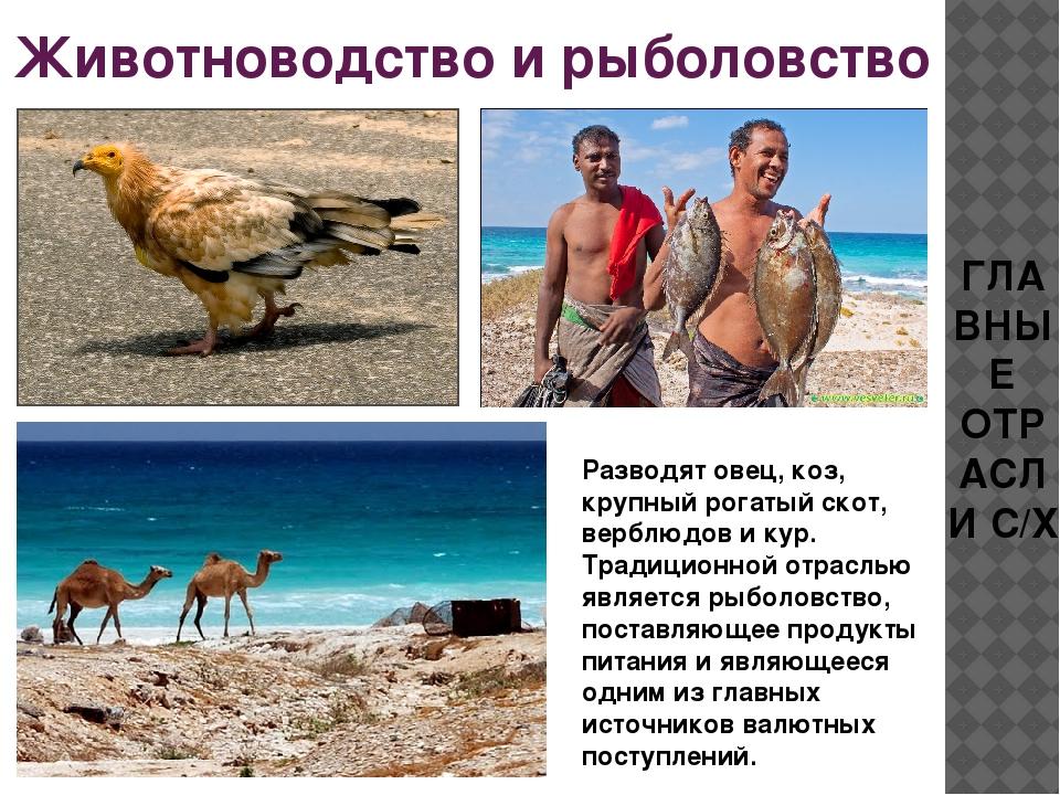 Животноводство и рыболовство ГЛАВНЫЕ ОТРАСЛИ С/Х Разводят овец, коз, крупный...