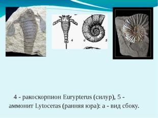 4 - ракоскорпион Eurypterus (силур), 5 - аммонит Lytoceras (ранняя юра): а -
