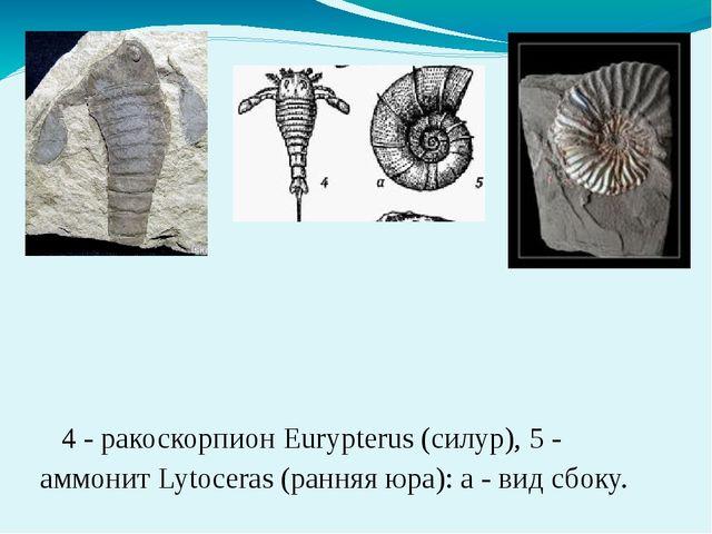 4 - ракоскорпион Eurypterus (силур), 5 - аммонит Lytoceras (ранняя юра): а -...