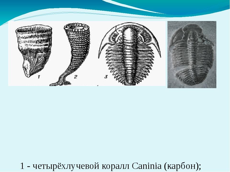 1 - четырёхлучевой коралл Caninia (карбон); 2 - археоциат Kotuyicyathus(кемб...