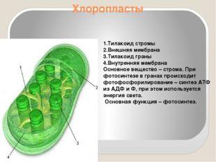 Хлоропласты 1.Тилакоид стромы 2.Внешняя мембрана 3.Тилакоид граны 4.Внутрення