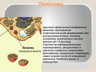 Лизосомы простой сферический мембранный мешочек, заполненный гидролитическими
