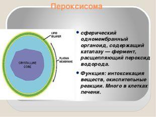 Пероксисома сферический одномембранный органоид, содержащий каталазу — фермен