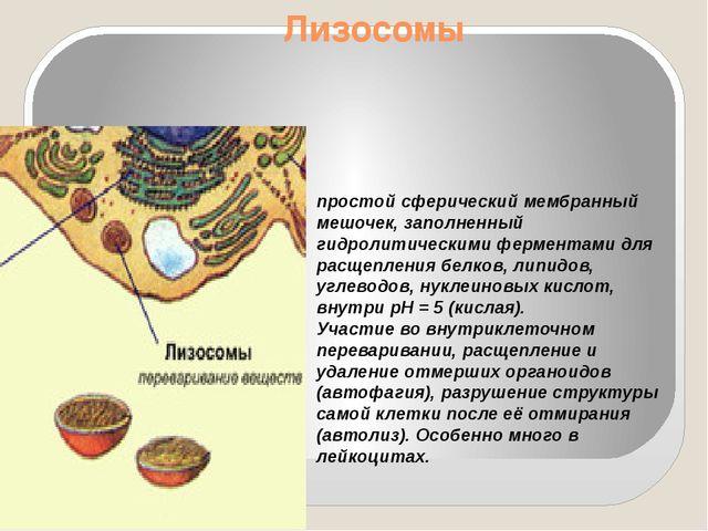 Лизосомы простой сферический мембранный мешочек, заполненный гидролитическими...